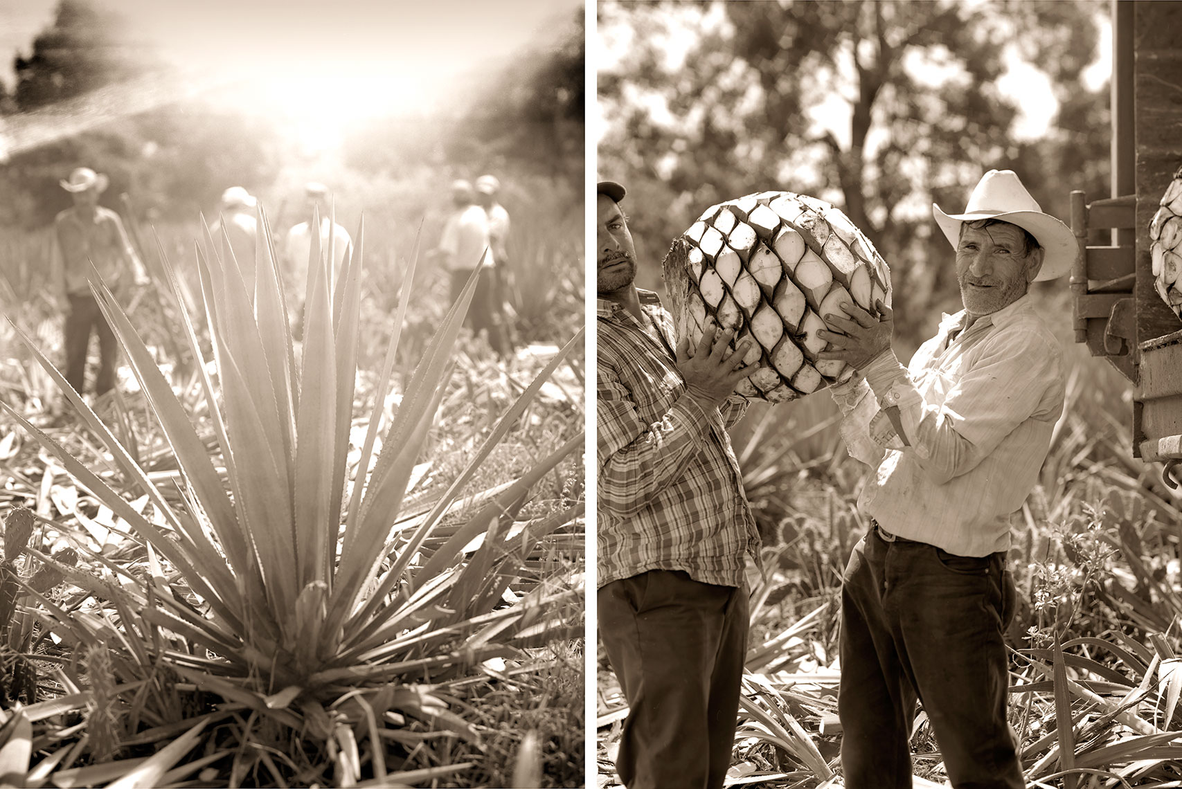 Agave_Field_Workers