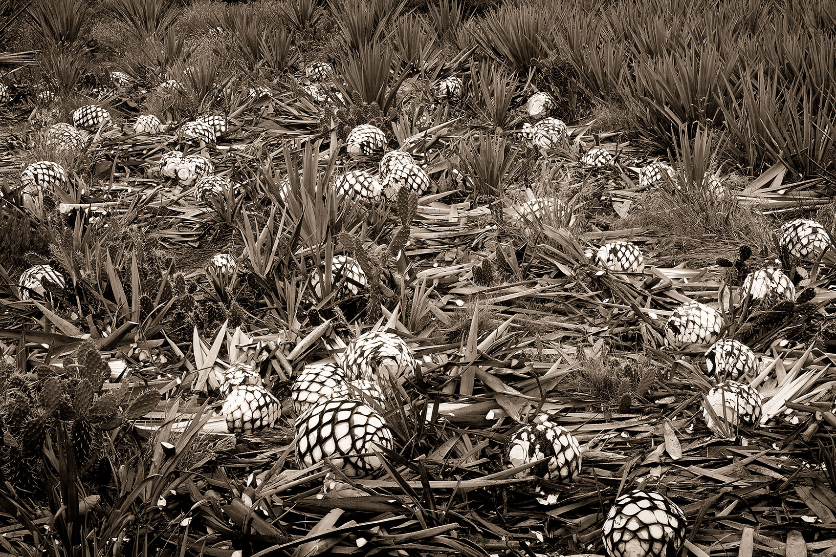 Harvested_agave_field